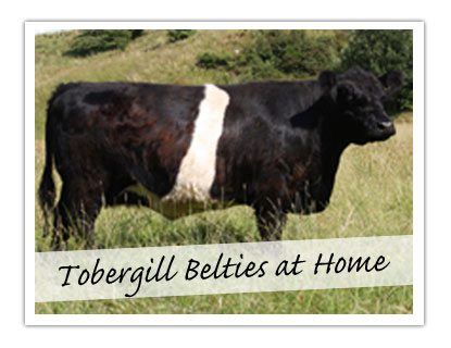 Tobergill Belties at Home