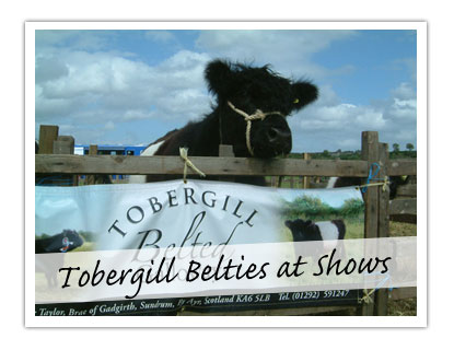 Tobergill Belties at Shows